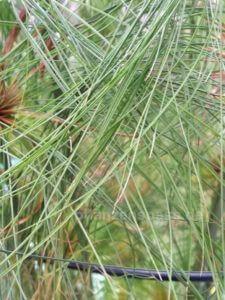echter Cyperus Papyrus Blätter Wedel schmal nadelförmig