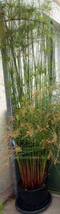 echter Cyperus Papyrus Wuchshöhe