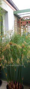 """Cyperus Papyrus Zuchtsorte als """"dwarf form"""" niedriger Wuchs"""