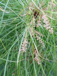 Cyperus papyrus Zuchtsorte Blüte Samen