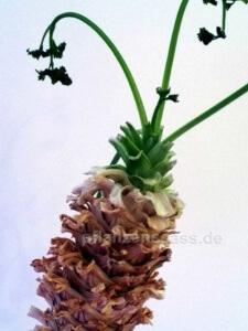 Petersilie wächst wie Palme mit Stamm
