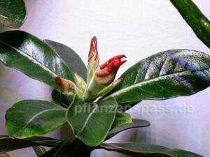 erste Blüte Adenium obesum