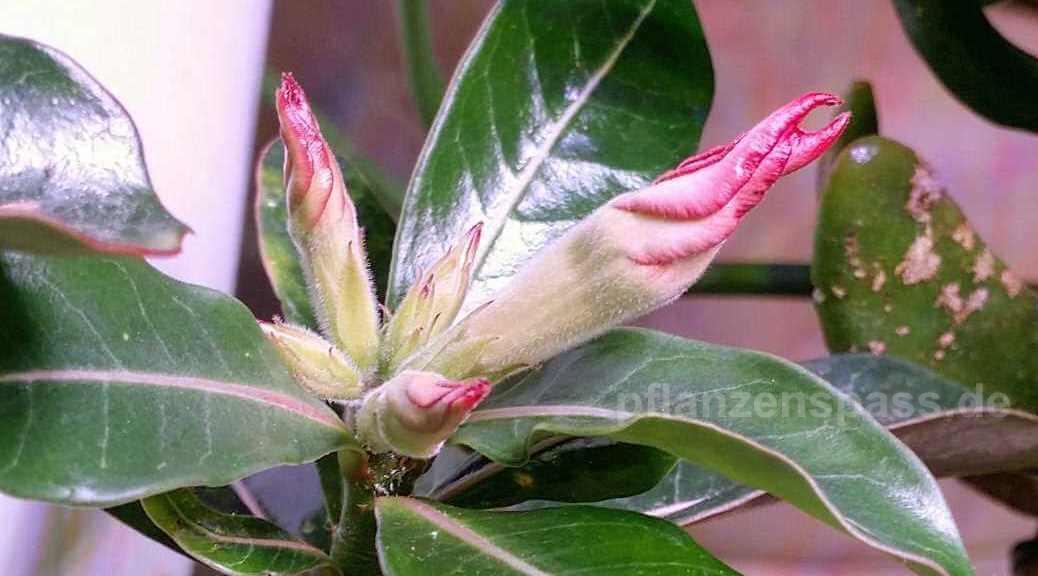 Adenium obesum erste Blüte