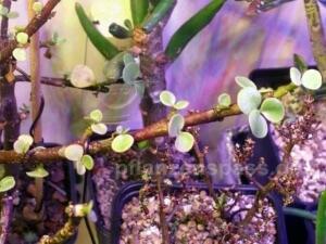 Portulacaria afra Blätter Probleme