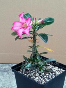Blüte Adenium obesum Wüstenrose