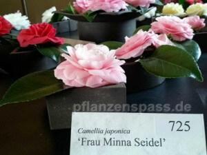 Camellia japonica Frau Minna Seidel
