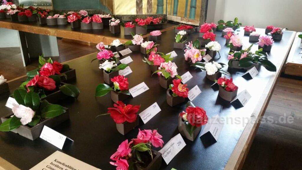Kamelienblüten Sorten bestimmen Fotos Blüten