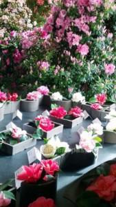 Kamelienblüten Ausstellung