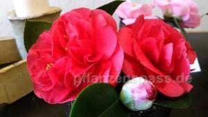 Kamelienblüte Knospen richtige Pflege