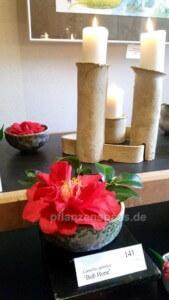 Kamelienblüte Pirna Zuschendorf