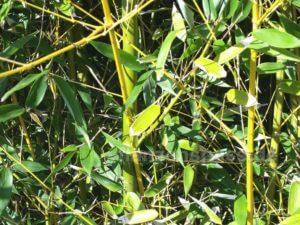 Bambus Im Garten Immergrun Und Winterhart Pflanzenspass De